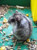 маленький серый и приятный хомяка — Стоковое фото