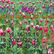 Stock Photo: Calendar for May of 2014 with tulips on flower-bed