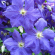 Beautiful blue flowers of clematis — Stock Photo