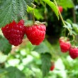 Stock Photo: Red ripe berries of raspberry