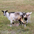 Stock Photo: Goat and kid on a pasture