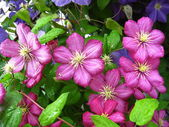 Beautiful pink flowers of clematis — Stock Photo