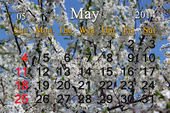 Calendar for May of 2014 year with branch of blossoming cherry — Stock Photo