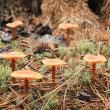 Stock Photo: Inedible mushrooms of toadstool