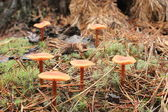 Inedible mushrooms of toadstool — Stock Photo