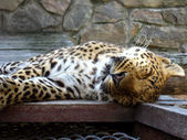 Nice leopard sleeping in the cell of zoo — Stockfoto