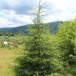 Foto Stock: Green young fur-tree on the hill