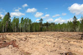 Pine forest with slot for planting new pines — Stock Photo