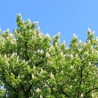 Crowe of blossoming flowers of chestnuts — Foto Stock