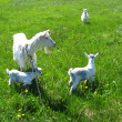 Goat and kids on a pasture — Stock Photo