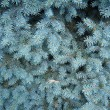 Light blue branches of young fur-tree — Stock Photo #36585403