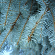 Foto Stock: Light blue branches of young fur-tree