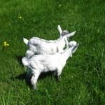 Goat kids on the pasture — Stock Photo