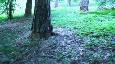 Squirrel in the green bushes in the park — Stock Video