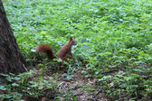 Squirrel in the green bushes in the park — Foto Stock