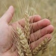 Spikelets of the wheat in the hand — Stock Photo