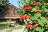Clustered red guelder-rose besides old rural house — Stock Photo