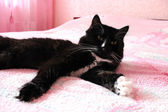 Black cat lying prone on the matrimonial bed — Stock Photo