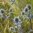 Thorny plant of Eryngium — Stock Photo #41457215
