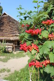 Clustered red guelder-rose besides an old rural house — Stock Photo