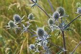 Thorny plant of Eryngium — Stock Photo