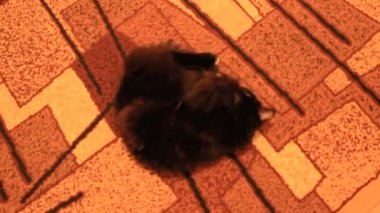 Black cat lolling about on the carpet — Stock Video