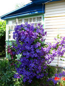 Beautiful blue flowers of clematis near the house — Stock Photo