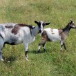 Goat and kid on the pasture — Stock Photo #47707469