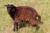 Black sheep grazing on a grass — Zdjęcie stockowe