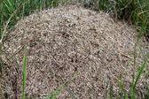 Big ant hill — Stock Photo