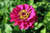 Beautiful and red flower of zinnia — 图库照片