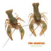 Two river crawfish — Stock Photo