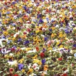 Heartsease, flower garden - Foto Stock