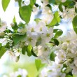 Spring flower blossom of cherry tree — Stock Photo