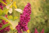 Lilac — Stok fotoğraf