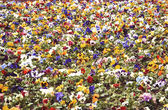 Heartsease, flower garden — Foto Stock