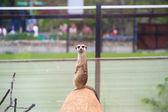 Meerkat in city — Stock Photo