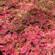 Rug of plants: coleus blumei shot in botanical garden in Hong Kong — Stock fotografie