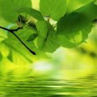 Nature scene in Summer: green leaves reflecting in water with some copy space — Stock Photo #14090923
