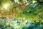 Beautiful chestnut tree foliage — Stock Photo