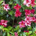 Cuisiat - Flowers — Stock Photo #10752255