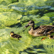 Garda lake at Malcesine, ducks — Stock Photo #12451844
