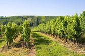 Vinhas da Alsácia — Fotografia Stock