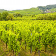 Royalty-Free Stock Photo: Saint-Hippolyte (Alsace) - Vineyards