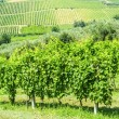 Stock Photo: Vineyards in Romagna