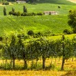 Vineyards between Rieti and Terni — Stock Photo