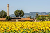 Field of sunflowers near Foligno (Umbria) — Stock Photo
