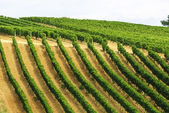 Vineyards of Montalcino (Tuscany) — Stock Photo