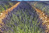 Plateau de valensole (provence), lavande — Photo