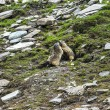 Colle dell'Agnello: two groundhogs — Stockfoto